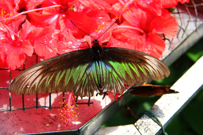 The tropic gardens and butterflies provide colourful sights at the Butterfly House - Kuala Lumpur