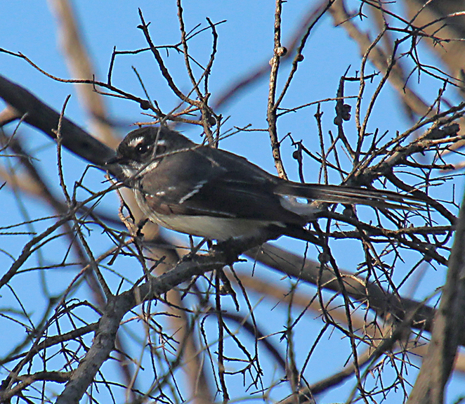 Wetlands, Barker inlet, South Australian wildlife, SA Tourism, Wildlife photography Wildlife stories, nature, grey fantail