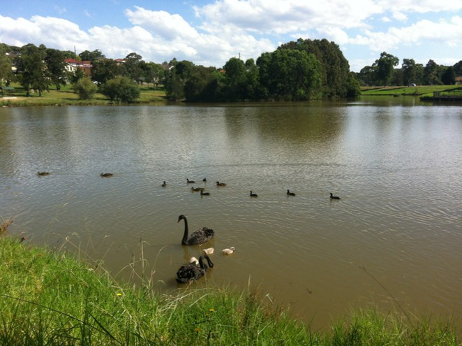 black swans, eagle farm reserve, sydney