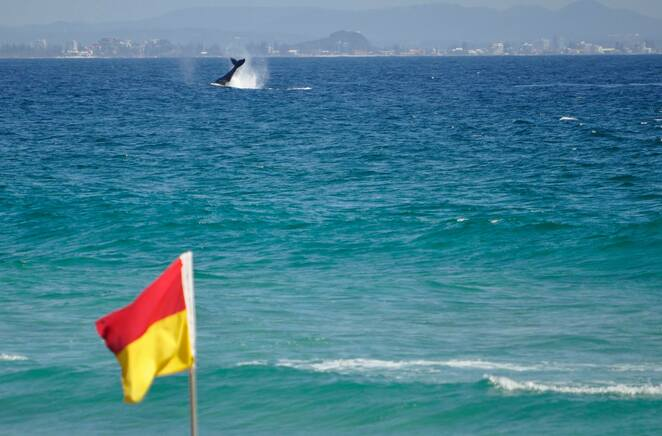 This humpback whale got the message about swimming between the flags!