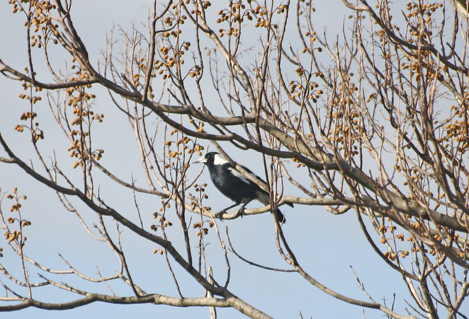 magpie in tree.