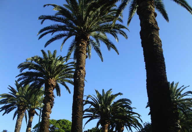 maundrell park, canary island date palms