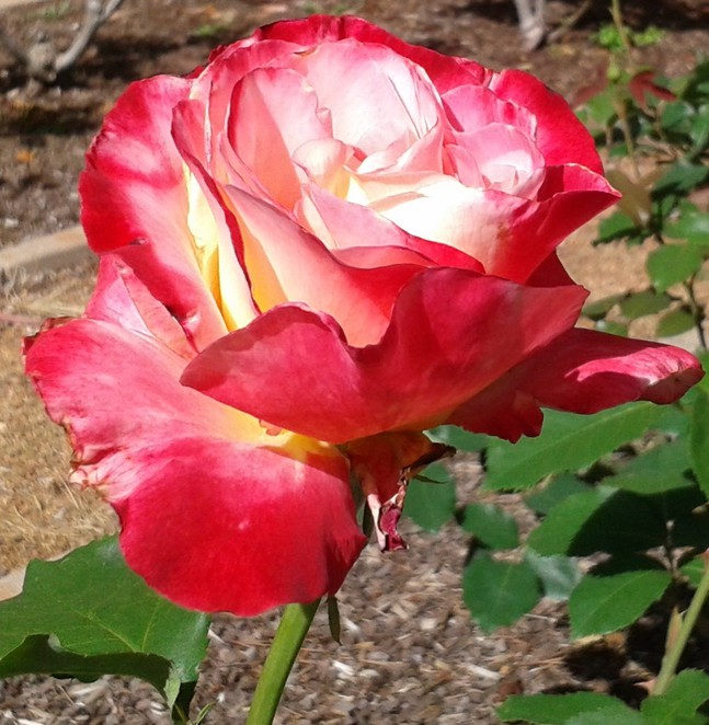 mothers day, 2016, canberra, rose, flowers,