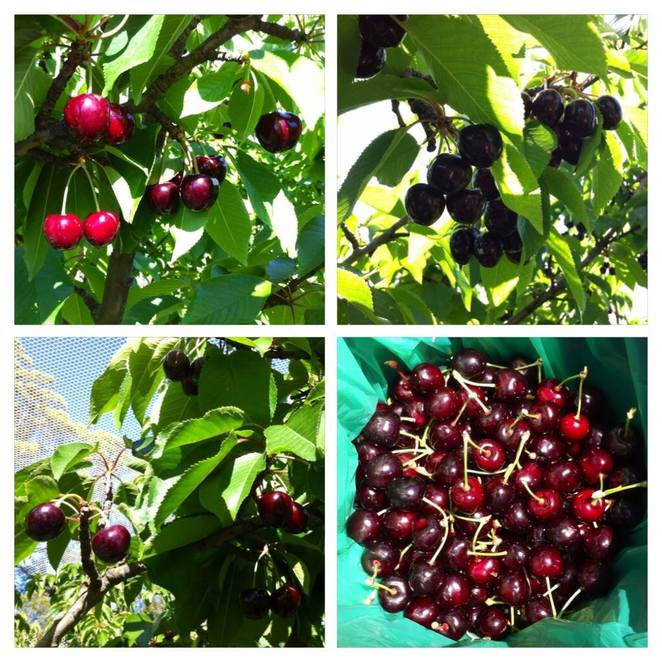pick your own cherries
