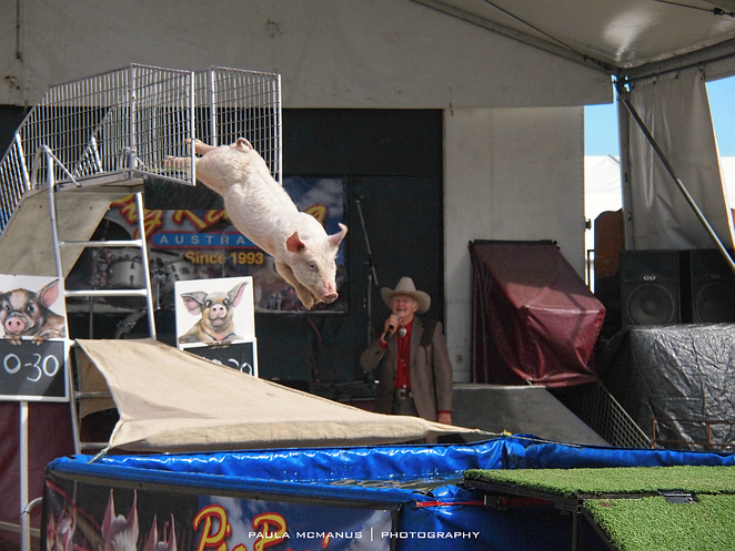 Pig racing and diving