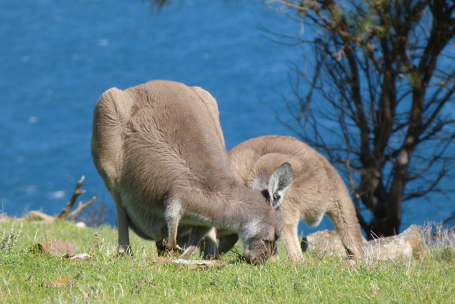 South Australian wildlife, South Australian tourism, Deep Creek Conservation Park, grey kangaroos, marsupials