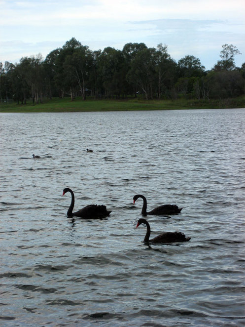 Swans at Lake Samsonvale