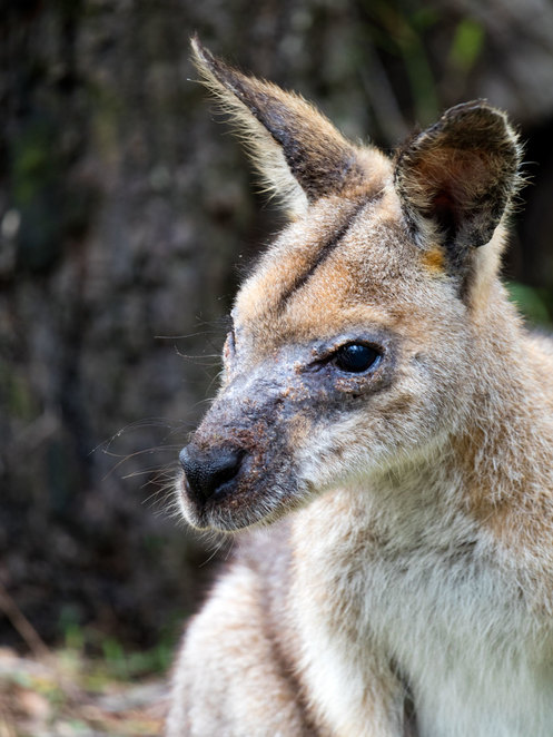 wallaby, indiscapes, wildlife