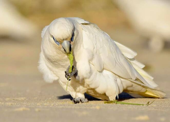 Delightful parrots such as this little corella often play and squable along the beach