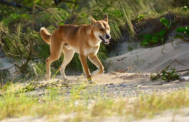 Although Dundubara is fenced, dingoes can be seen all along the island's eastern beach