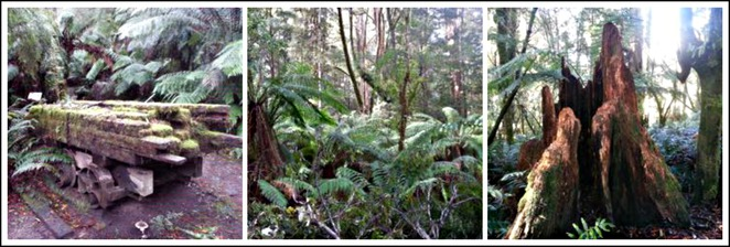 triplet falls, Otways, Great Otway national park, bush walk, victoria, track, pathway, timber mill, mountain ash,