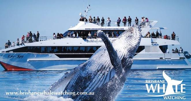 whale watching gold coast, whale watching brisbane, best whale watching brisbane, best whale watching gold coast, getaway sailing whale watching, brisbane whale watching, redcliffe whale watching