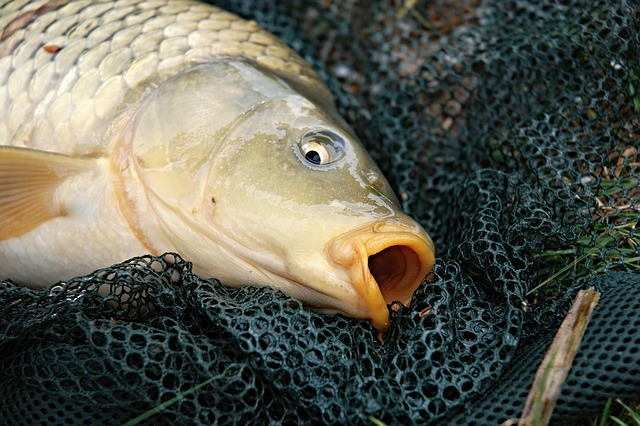Carp fishing contest and market day at mannum adelaide for Can you eat carp fish