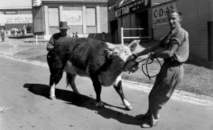 Stubborn Young Hereford being unwillingly lead by his attendant RNA showgrounds 1940 John Oxley State Library archive
