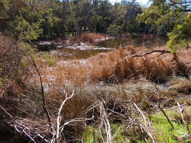 totness recreation park, mount barker, recreation park, steam engine, railway dam, fishing, walking, dog friendly, south australian railways, bed of reeds