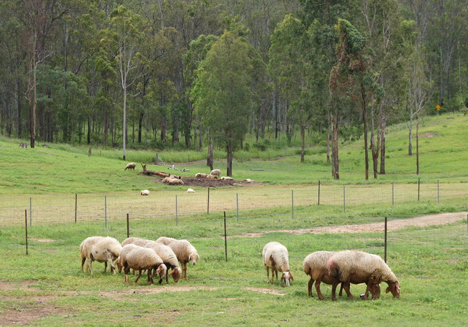 The Awassi Cheesery farm in the Lockyer Valley