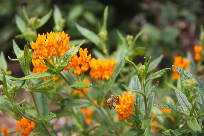 Asclepias tuberosa – Butterfly weed