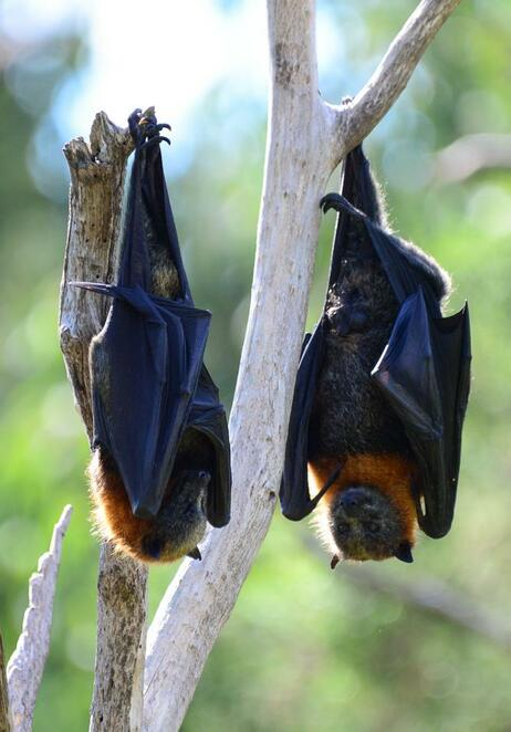 Flying foxes often roost at Mary Cairncross Scenic Reserve during the day