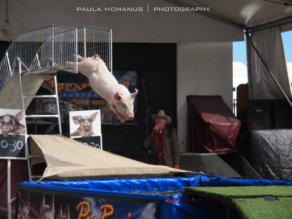 Pig racing and pig diving adelaide for Pool show adelaide