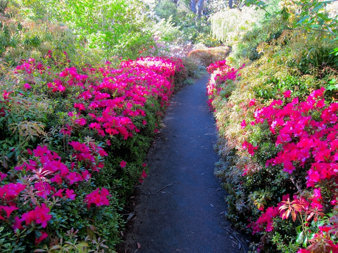 rhododendron garden, Blackheath, Blue Mountains, best gardens in the Blue Mountains