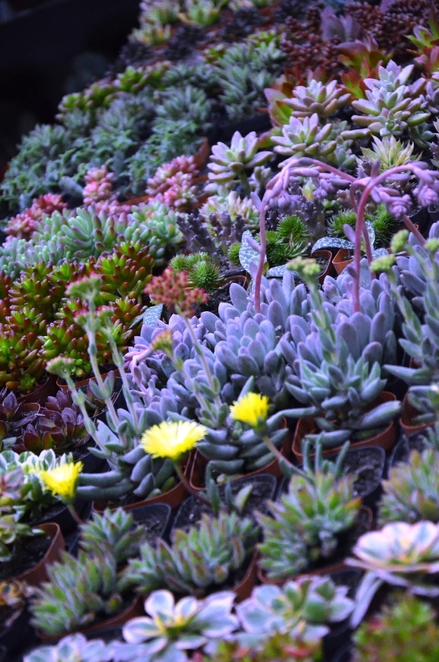 Succulents for shallow soil