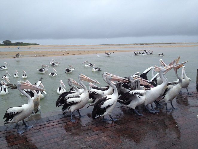 The Entrance is known as the Pelican Capital of Australia