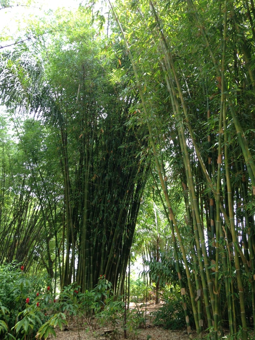 Bamboo, Gingers, Heliconia, Gardens, Shopping, Near Maryborough, Nursery