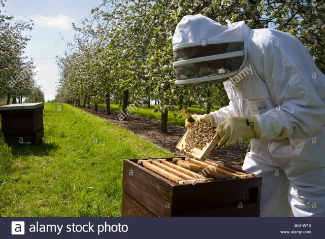 bees, making honey, bees are easily amongst the most important insects to humans on earth