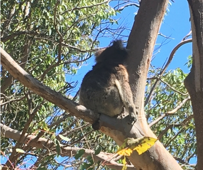 koala, Yanchep, national, park, Perth, trees