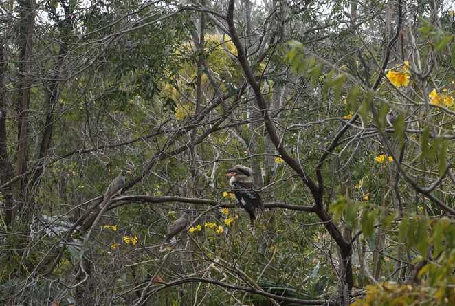 Kookaburra fought back