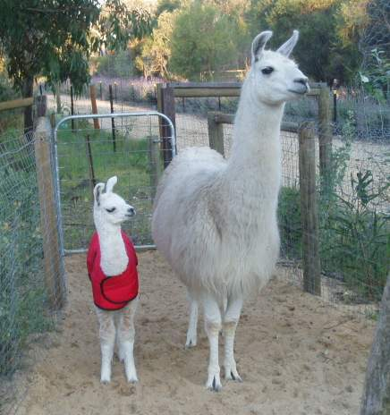 Mother and cria