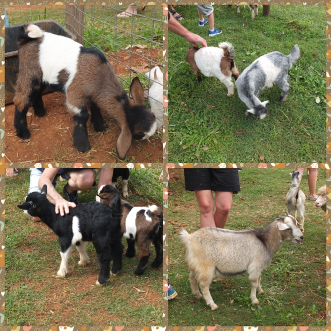 PoulTree Park, North Arm, Sunshine Coast, miniature farm animals, interact and feed animals, pet farm animals, kid goats, hens, ducks, piglets, covered/closed in shoes, insect repellant, designated parking, picnic, Farmyard Espresso, fun for all ages