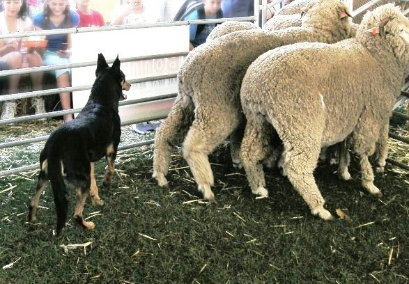 Working sheep dog displays are always popular at the show. This image is by Fairv8 at Wikimedia Commons