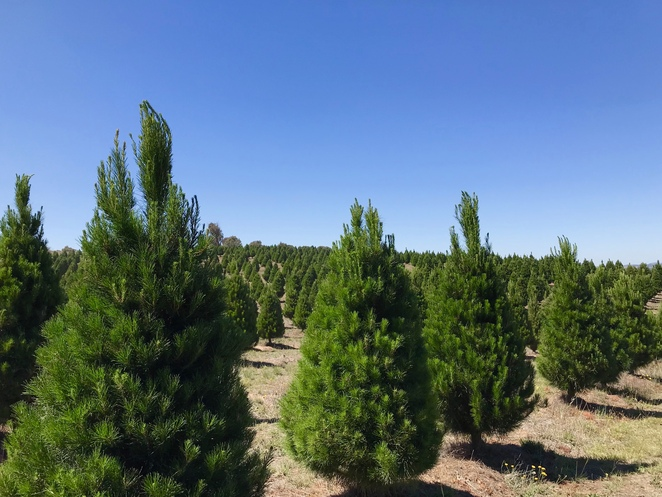 Christmas Tree Farm, Gundaroo, Canberra, Christmas trees Canberra, farm visits near Canberra, Christmas activities in Canberra, cut your own Christmas tree
