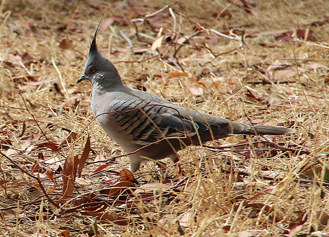 crested pigeon, SA birds, wildlife photography