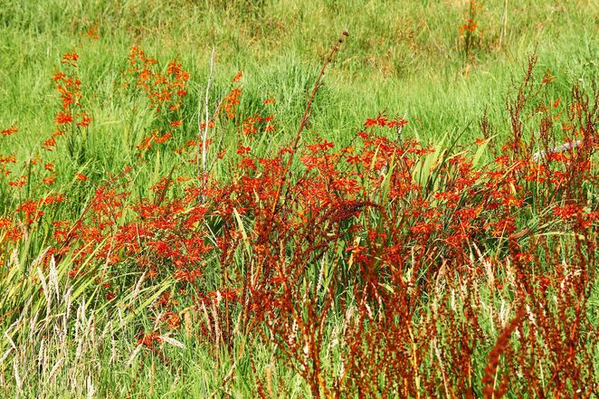 mass of red flowers