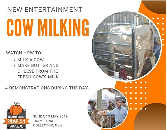 milking cows, collector pumpkin festival, kids, children, families, events, festivals, canberra, whats on, NSW events, festivals, pumpkins,