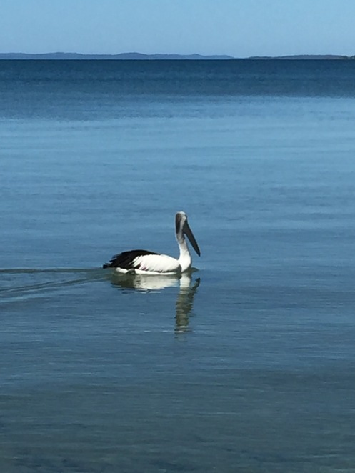 pelican, seabirds, bay, waterways, strait, calm water, sailing, marine life