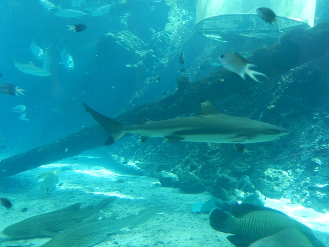 shark, reef, reef hq, diver, Townsville, Queensland