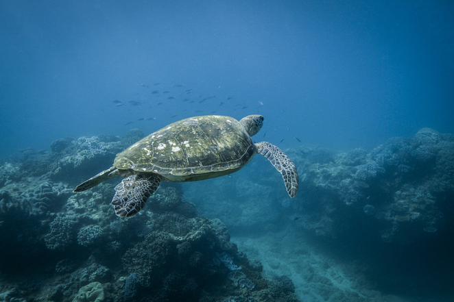 turtle, great barrier reef, swim, plastic