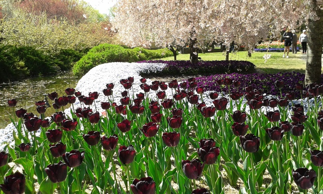 ulip top festival 2016, canberra, festivals in canberra, floriade, tulip tops, gardens in canberra, gardens in NSW