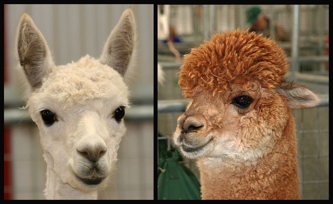 Adelaide Royal Show, 2016, animals, alpacas