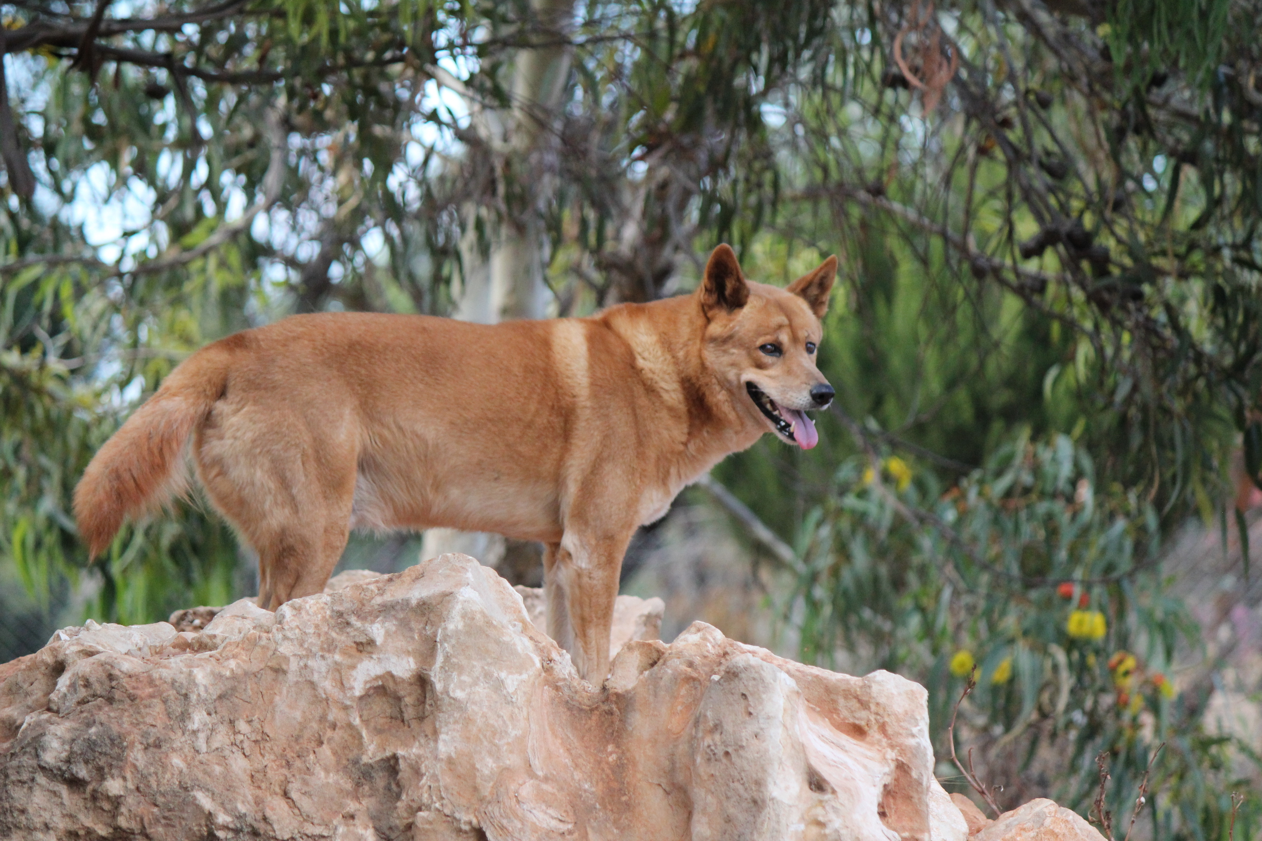 dingo and australian dingoes The dingo was domesticated by indigenous australians long before the  in fact,  even wild dingoes will act reasonably tame after coming into.