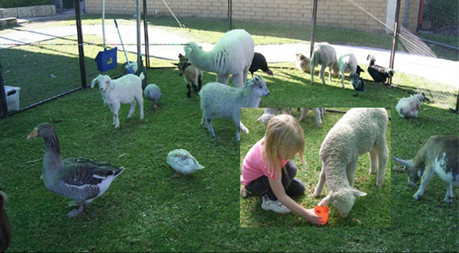 Animals at the animal farm with girl feeding lamb