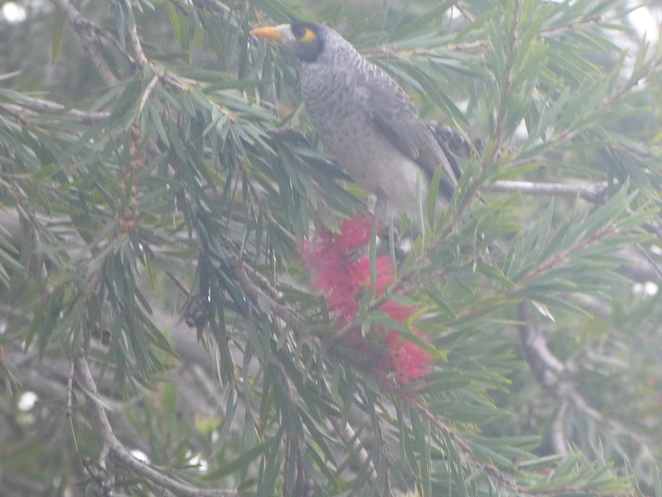 Another bird feeding on the Bottlebrush that i could not identify