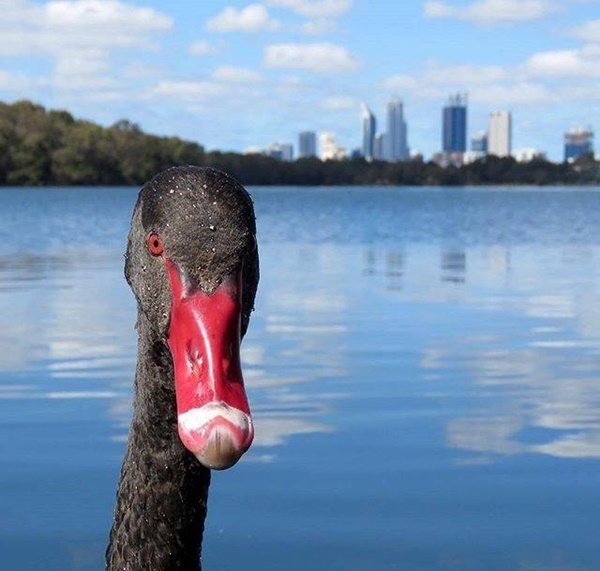 Black,Swan,at,Lake,Monger