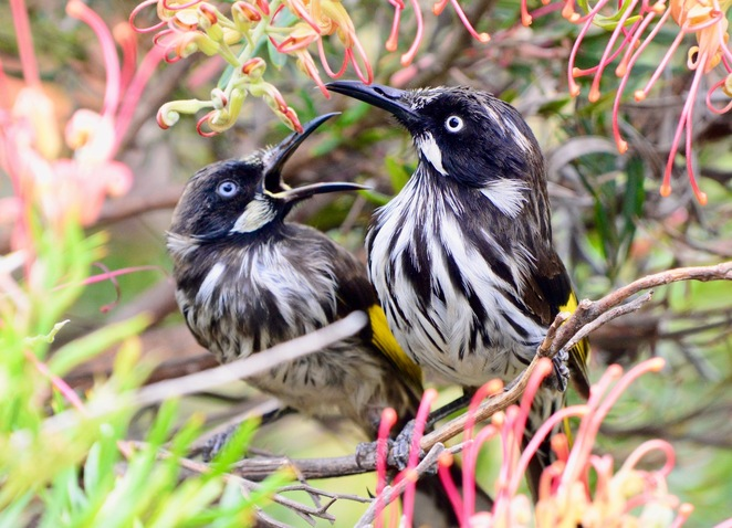 A new Holland honeyeater being harassed by an incessant fledgeling