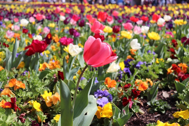 Canberra, flower festivals, spring, tulips, gardens, things to do in Canberra, Floriade