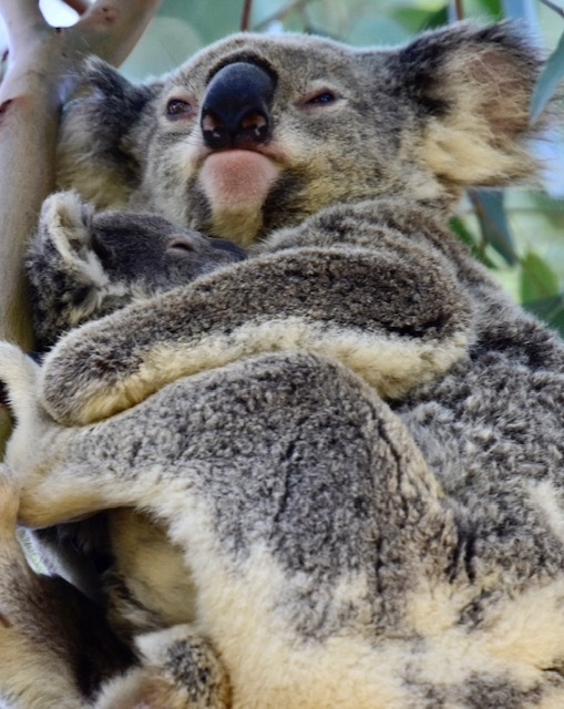 The greatest treasure hunt of all is spotting on of Redlands Coast's iconic wild koalas - or two!