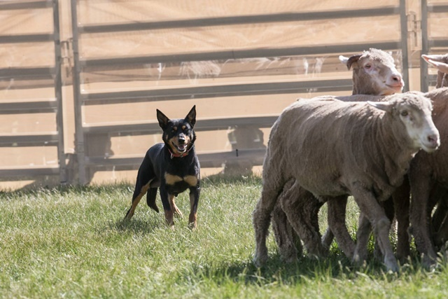 sheep,rounded,up,by,kelpies